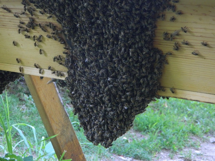 Bees clustered on the outside of the hive