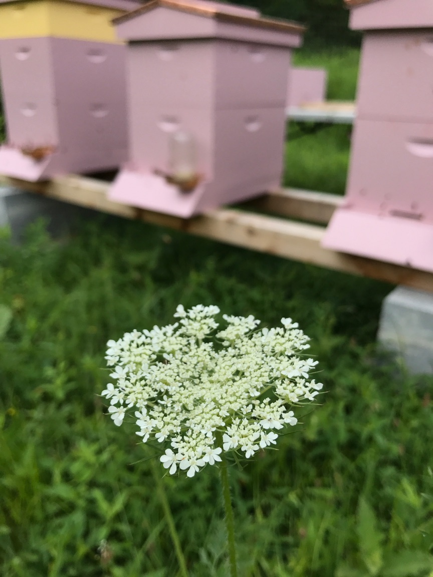 Queen Anne Lace and other wildflowers keep our bees busy