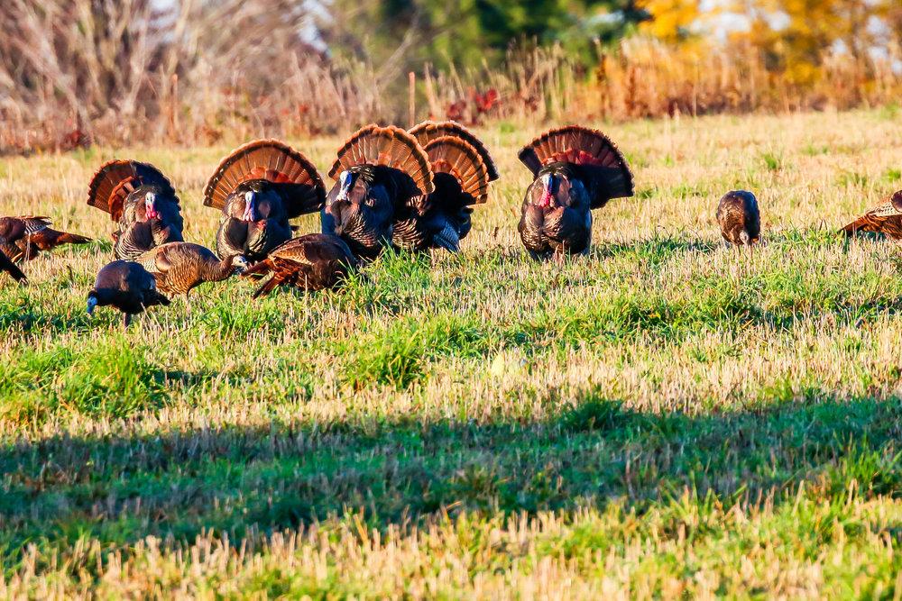 Six-Tom-Turkeys-624155484_3369x2246.jpeg