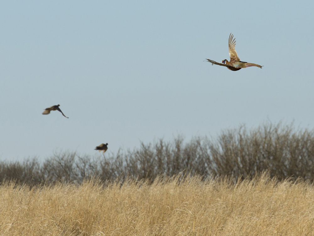 Flock-of-Flying-Pheasants-624046492_2853x2140.jpeg