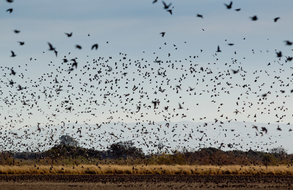 Cordba-Argentina-Dove-Hunting-Bird-Flying-Over-the-Field.jpg