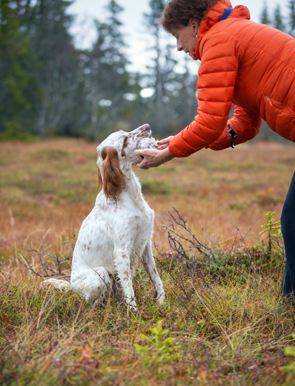 English-Setter-training-retrieve-with-instructor-in-the-Norwegian-mountains-at-autumn,-Oppland-Norway-860591442_1517x1982.jpeg