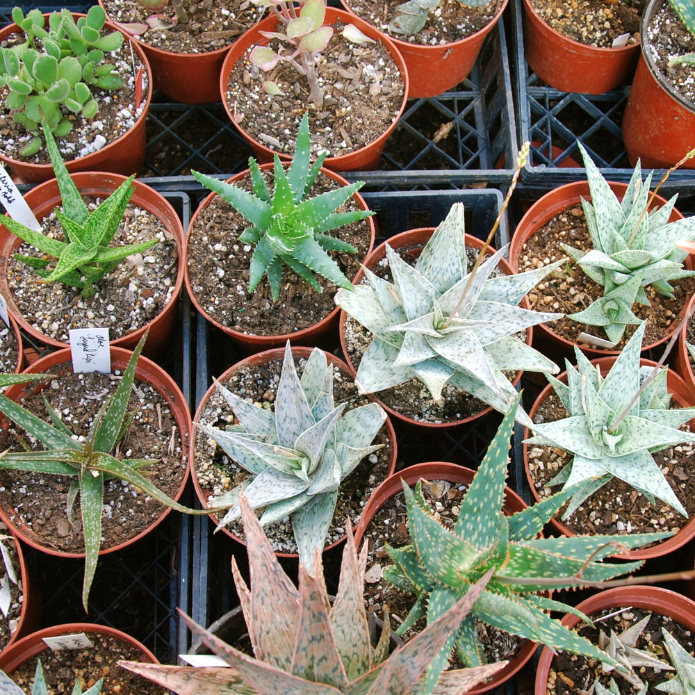 Aloe hybrids in 6 inch pots