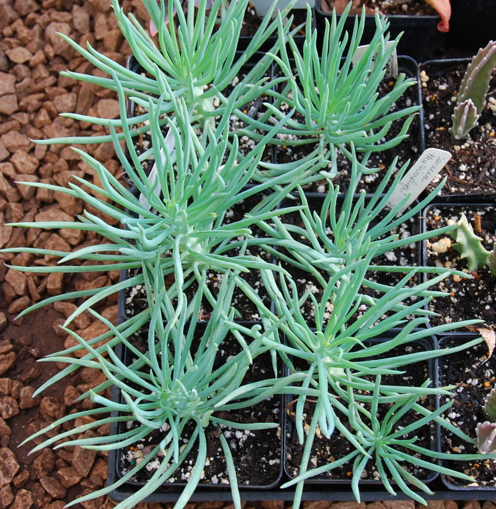 Senecio  'Blue Fingers'