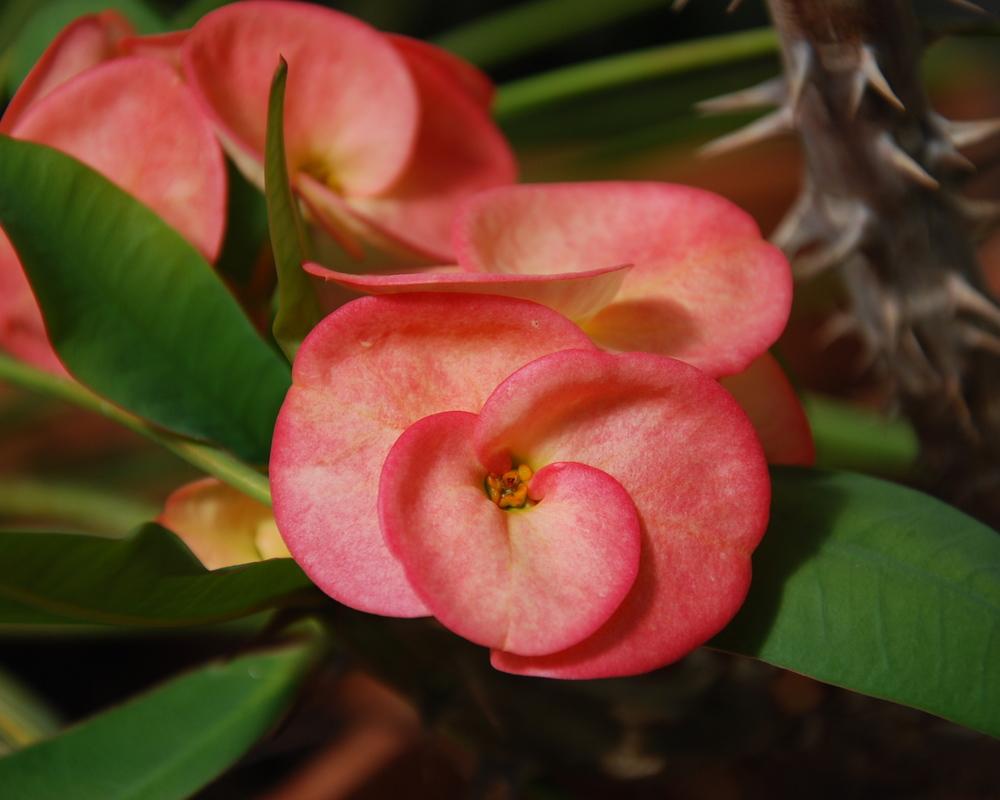 Euphorbia millii 'Egad s'