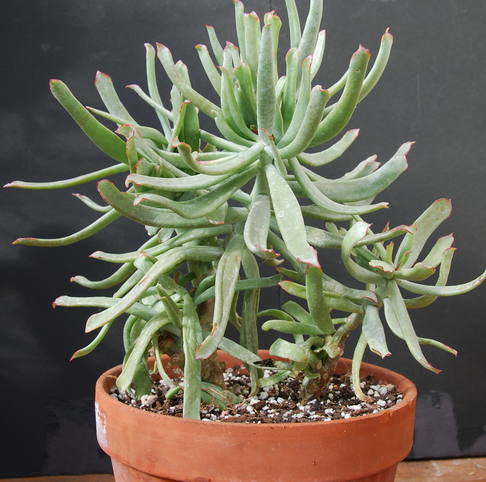 Cotyledon orbiculata 'Cup Plant'