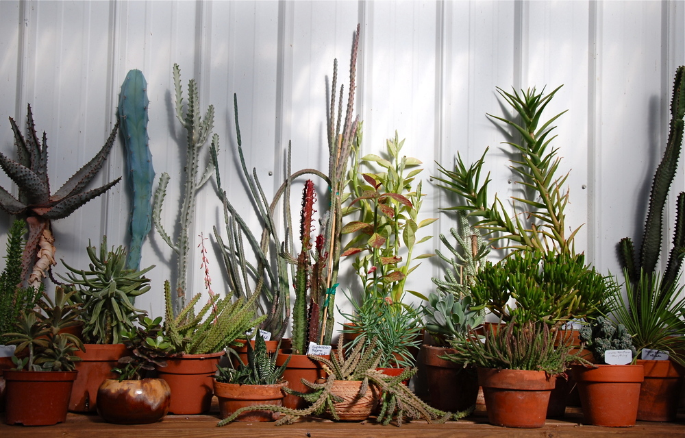 Aeonium, Agaves, Euphorbia, Cotyledon, Huernea, Aloe, Cacti, Kalanchoe, Graptosedum, Crassula, Echeveria, Gasteria, Haworthia, Sedum, Sedevera, Senecio, Sempervivum, Stapelia, etc.