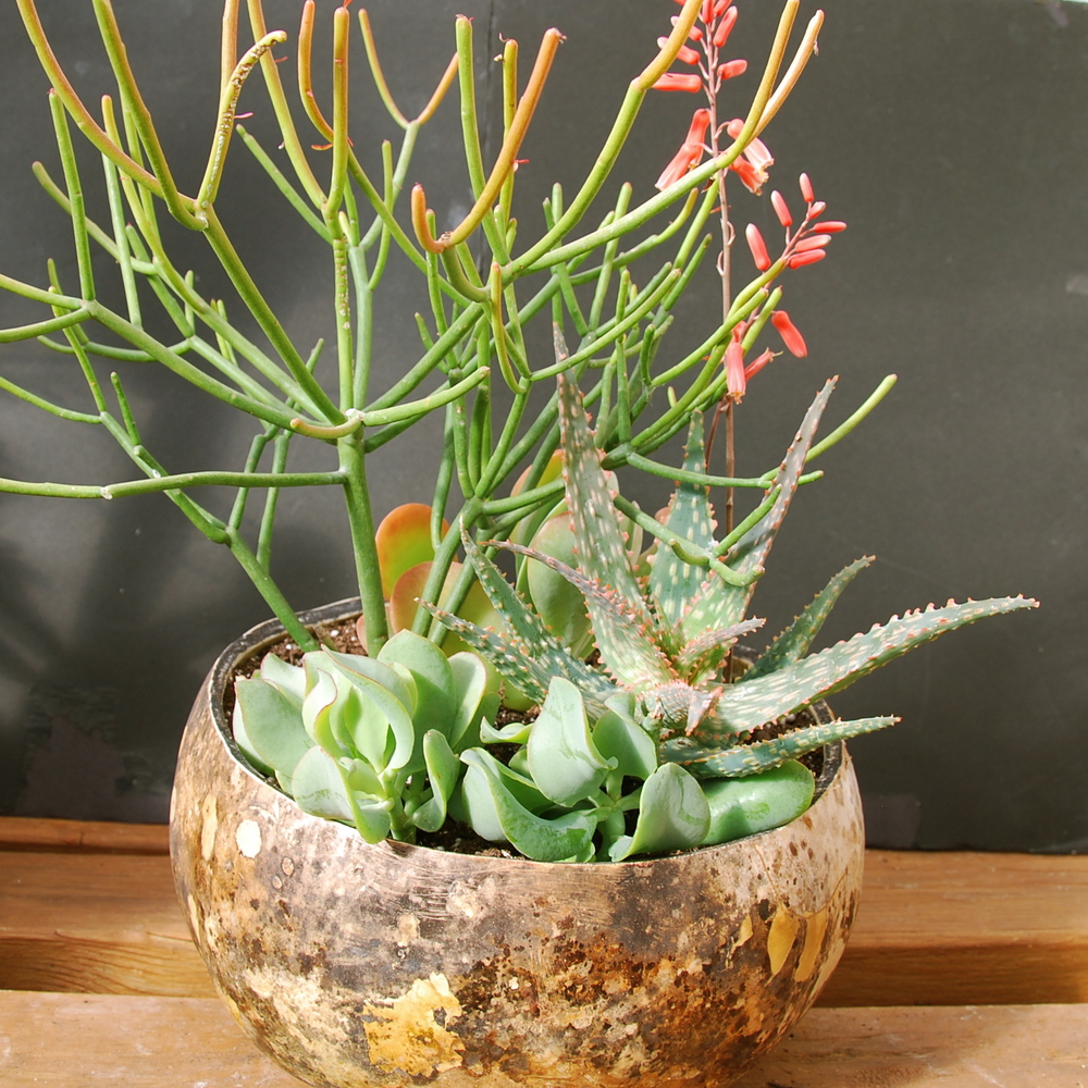 Euphorbia tirucalli 'Firesticks', Aloe 'Campfire', Crassula arborescens 'Ripple Jade' in gourd container