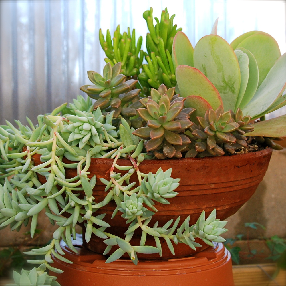 Sedum 'Blue Feathers', Crassula ovata 'Gollum', Kalanchoe 'Flap Jack', Sedevera 'Sorrento' in clay container