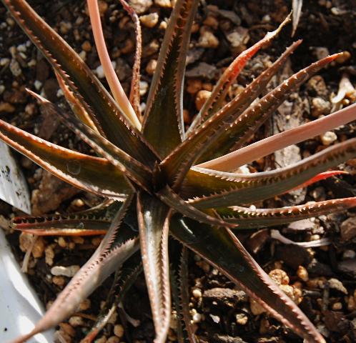 Aloe 'Brass Hat'