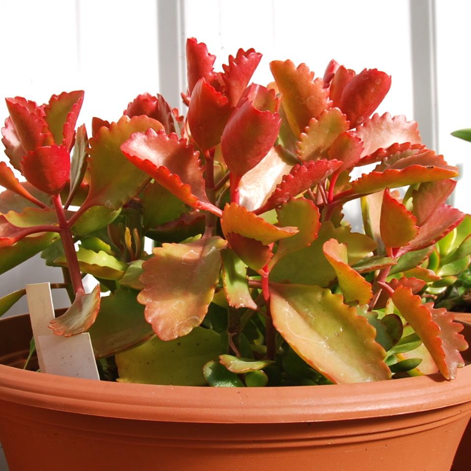 Kalanchoe sexangularis  'Six Angled'