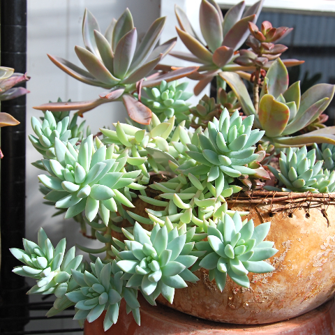 Sedum 'Blue Feathers'