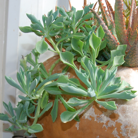 Senecio kleiniiformis 'Spear Head'