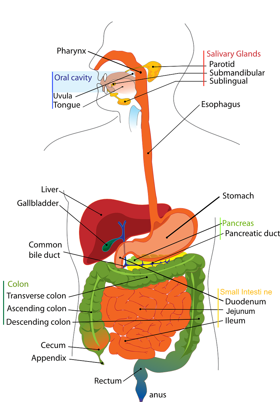 Pancreas releases insulin