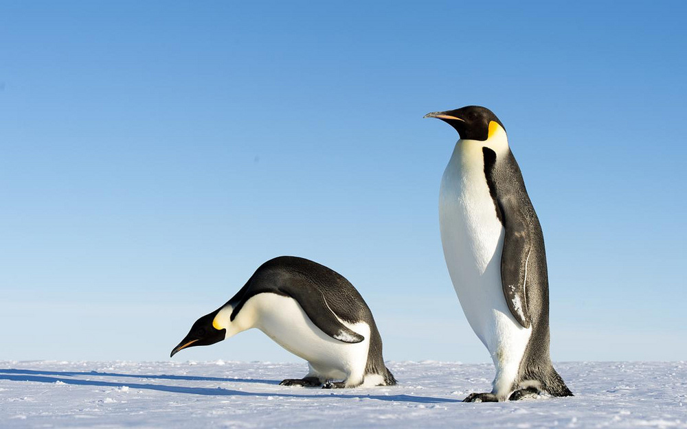 Emperor-Penguins.jpg