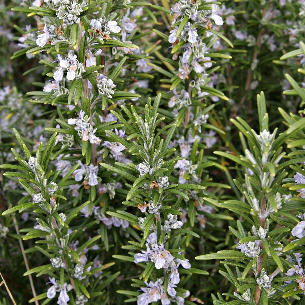 Rosemary_bush.jpg
