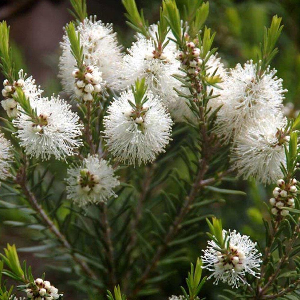 Melaleuca_alternifolia_1024.jpeg