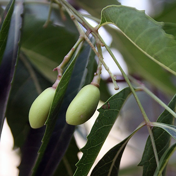 Unripe_Neem_fruits.jpg