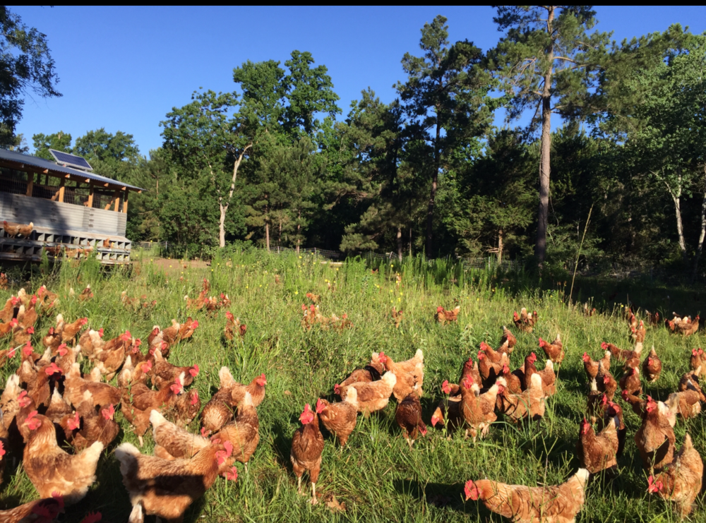 Pasture Raised Poultry  Our pastured poultry is hormone and antibiotic free. We ensure that they have access to grass and plenty of space to roam freely.