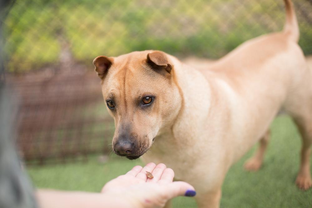tan-shy-fearful-dog-taking-food-reward-phobia-fear-resource-guarding