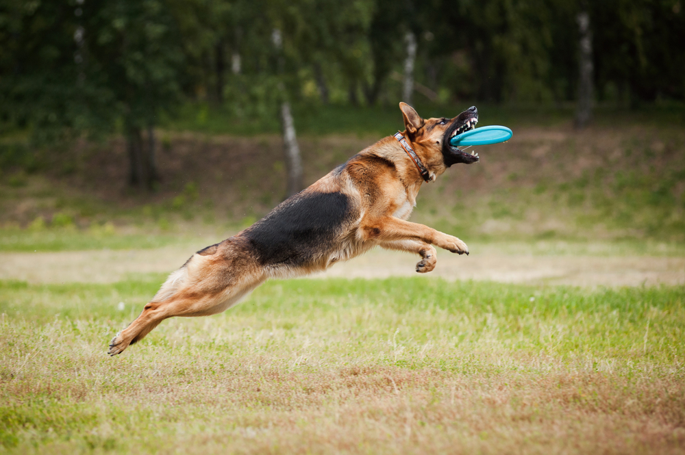 german-shepherd-jumping-to-catch-frisbee-fetch-large-dog