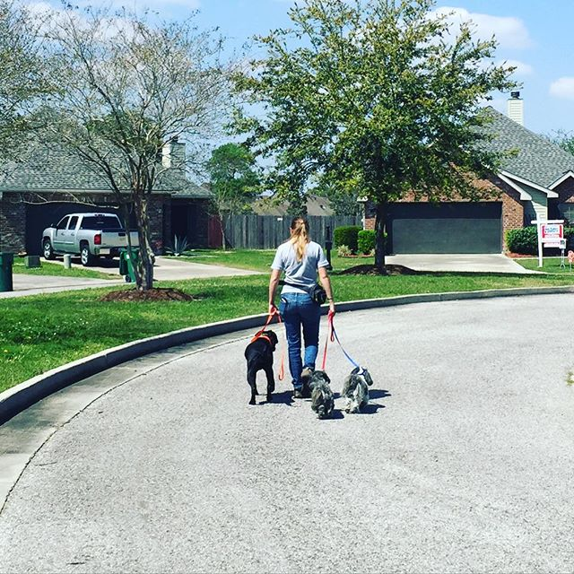 Working in Youngsville on behavior modification with a client's two male Shih Tzus, Baxter and Barkley. They used to bark and growl at other dogs, now they are happy to take a walk with Xena! #southerncanine #dogtraining #youngsville #shihtzusofinstagram