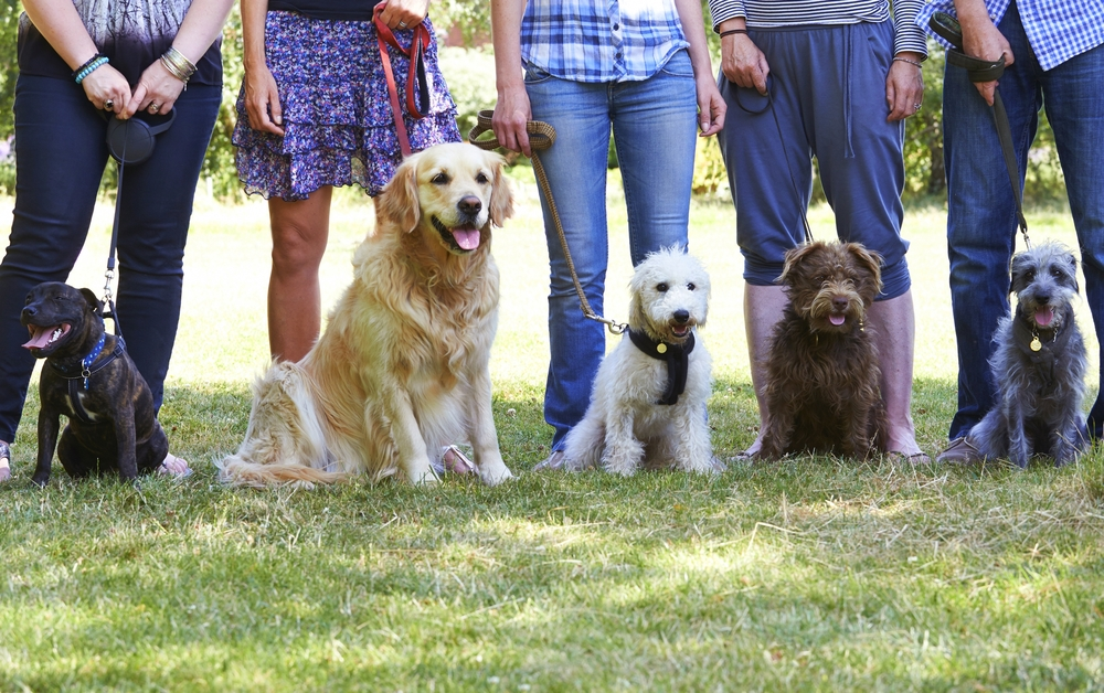 stock-photo-bulldog-and-beagle-dog-waiting-for-reward-246019489.jpg