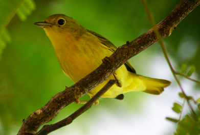 Birds Help Protect Costa Rica's Coffee Crops