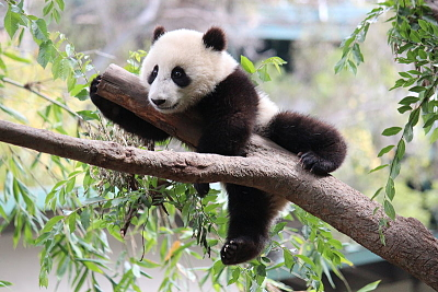 Panda Poop Could Be Used to Make Biofuel