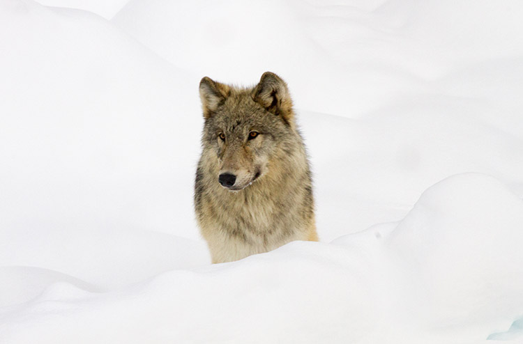 How wolves changed Yellowstone