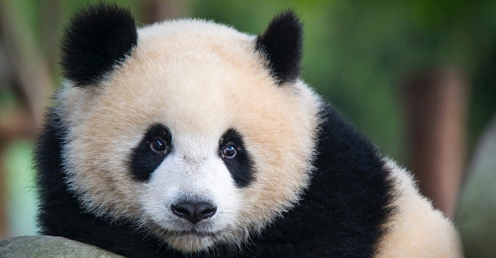 Why pandas are the coolest – and weirdest – bears