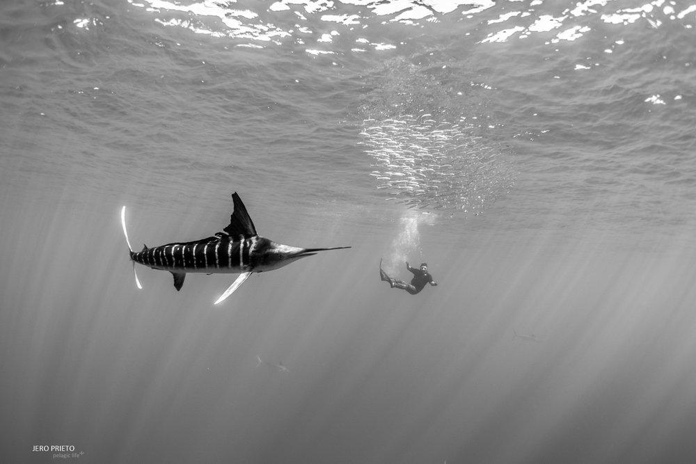 JPB 2016 Noviembre, Magbay Marlin Orca-20 (12).JPG