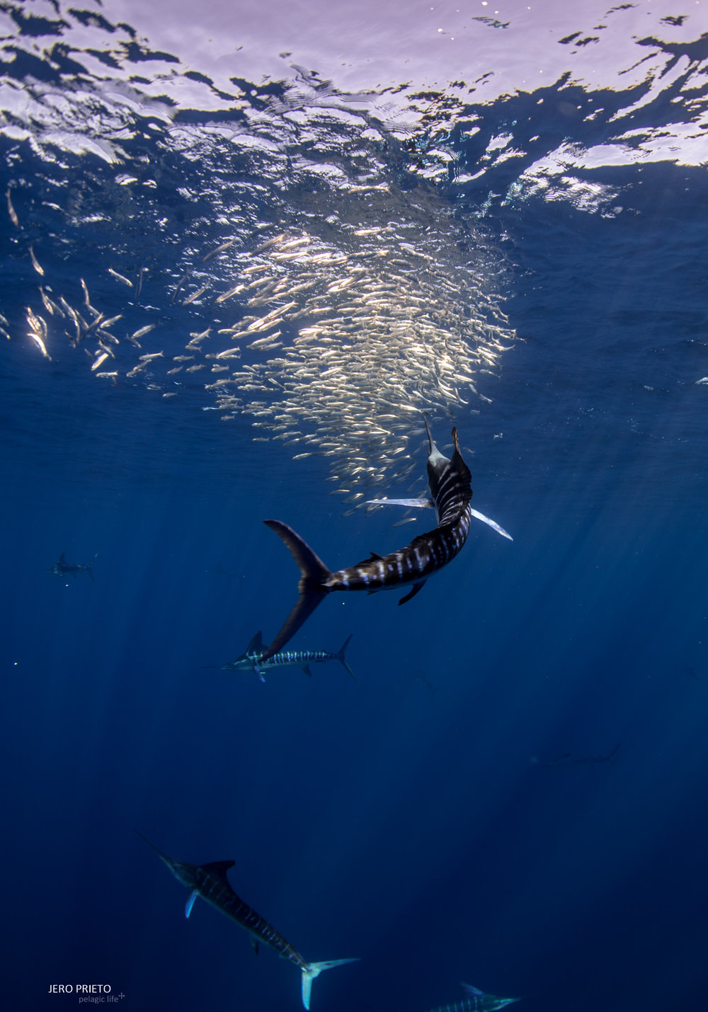 JPB 2016 Noviembre, Magbay Marlin Orca-20 (5).JPG