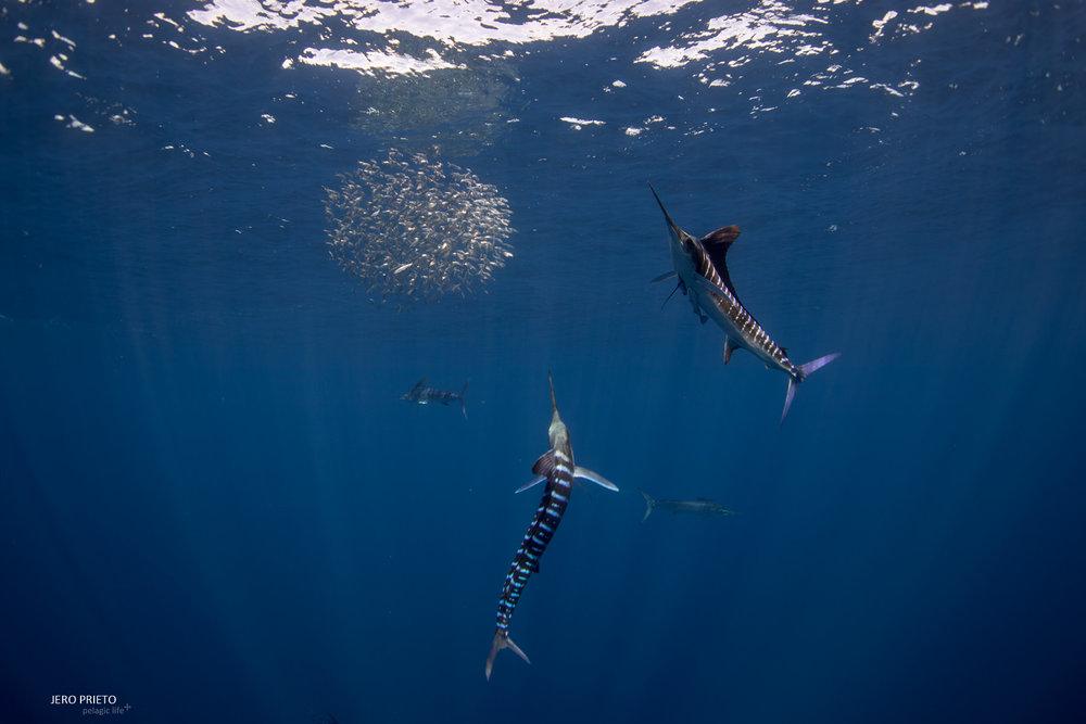 JPB 2016 Noviembre, Magbay Marlin Orca-20 (7).JPG