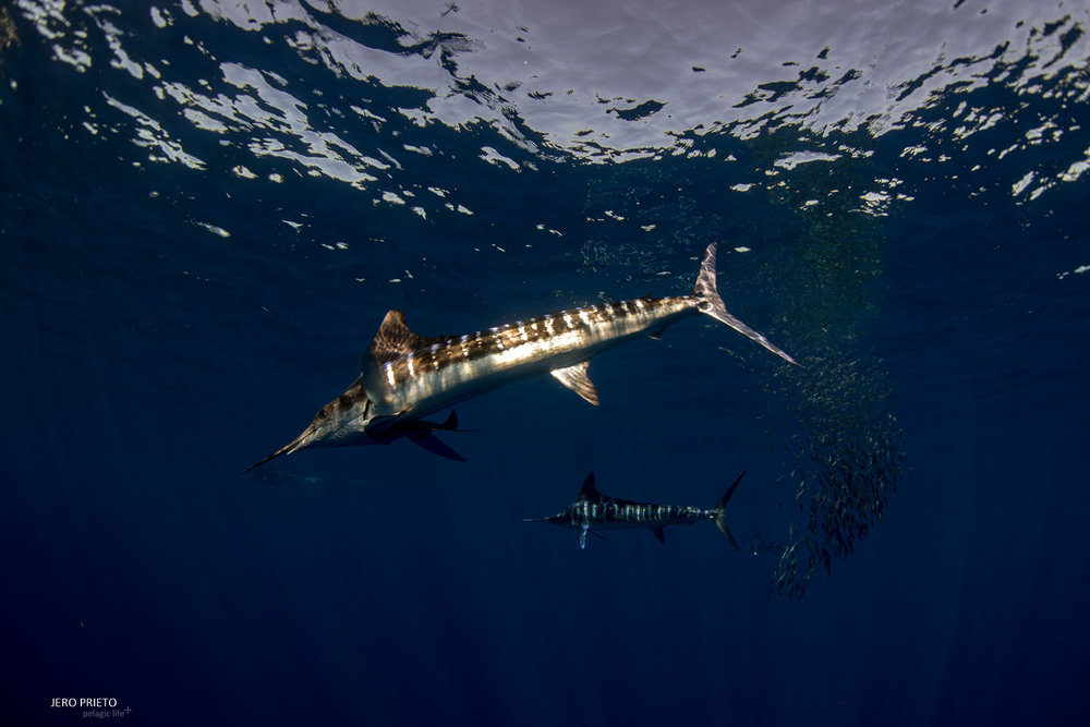JPB 2016 Noviembre, Magbay Marlin Orca-20 (8).JPG