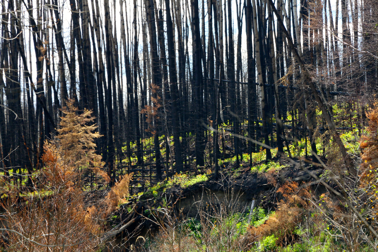 Below charred tree trunks, vegetation begins to return to a hill south of Abasand on June 19, 2016. Vincent McDermott/Fort McMurray Today/Postmedia Network