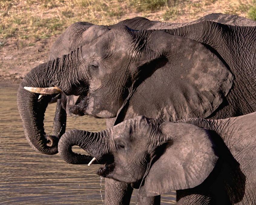 UK Ivory Ban Elephants.jpg