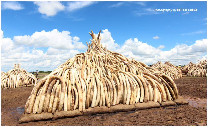 asia ivory.jpg