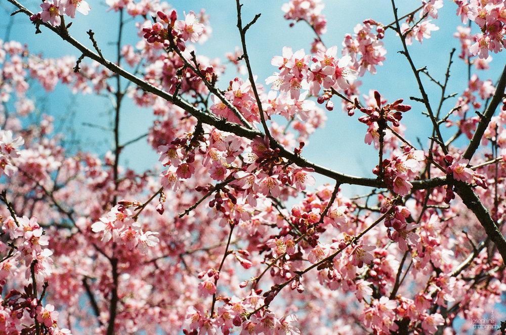 Brooklyn Botanical Gardens - Cherry Blossom Season!