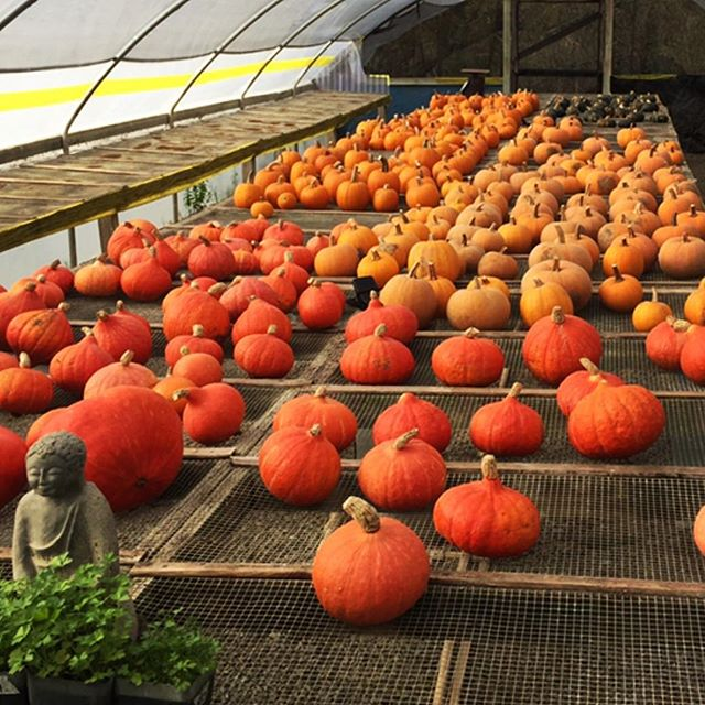 Pumpkin picking's 🎃 #farmlife #orange #vegtables #instahalloween