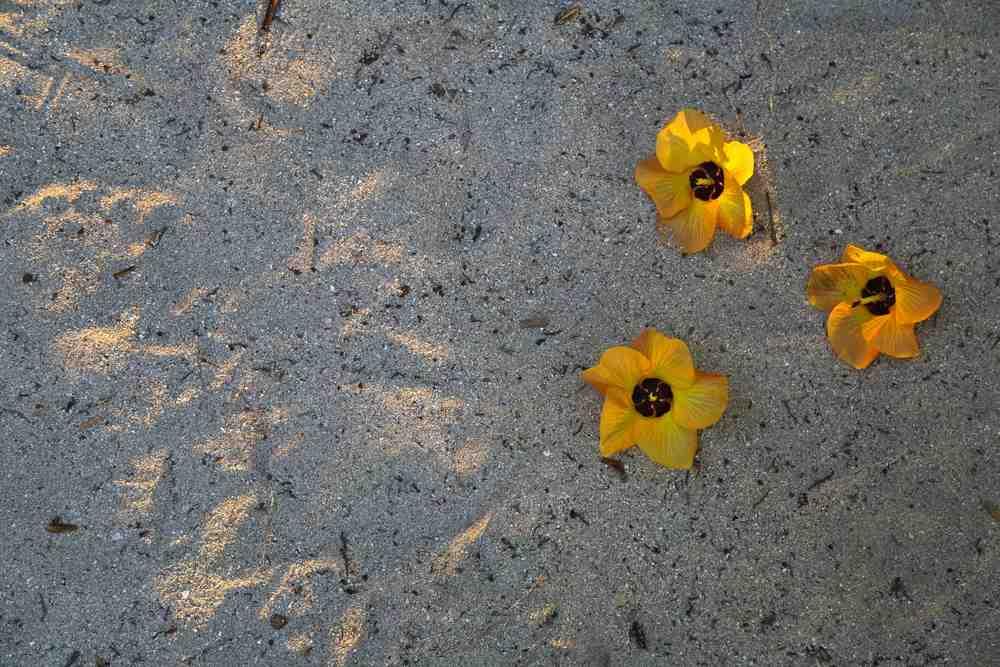 hibiscus sandSm.jpg
