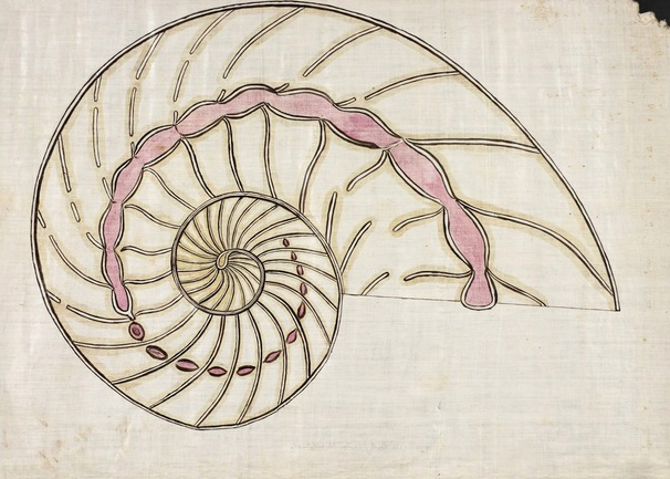 Nautilus Shell, from the Classroom Drawings of Orra White Hitchcock (1796-1863)