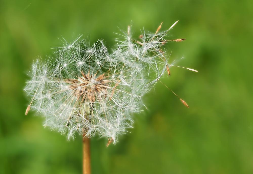 Dandelion loosing seeds