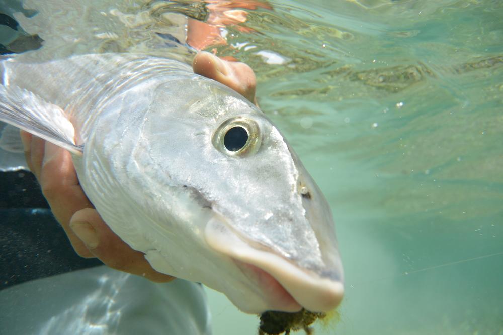 Bonefish, Culebra, PR