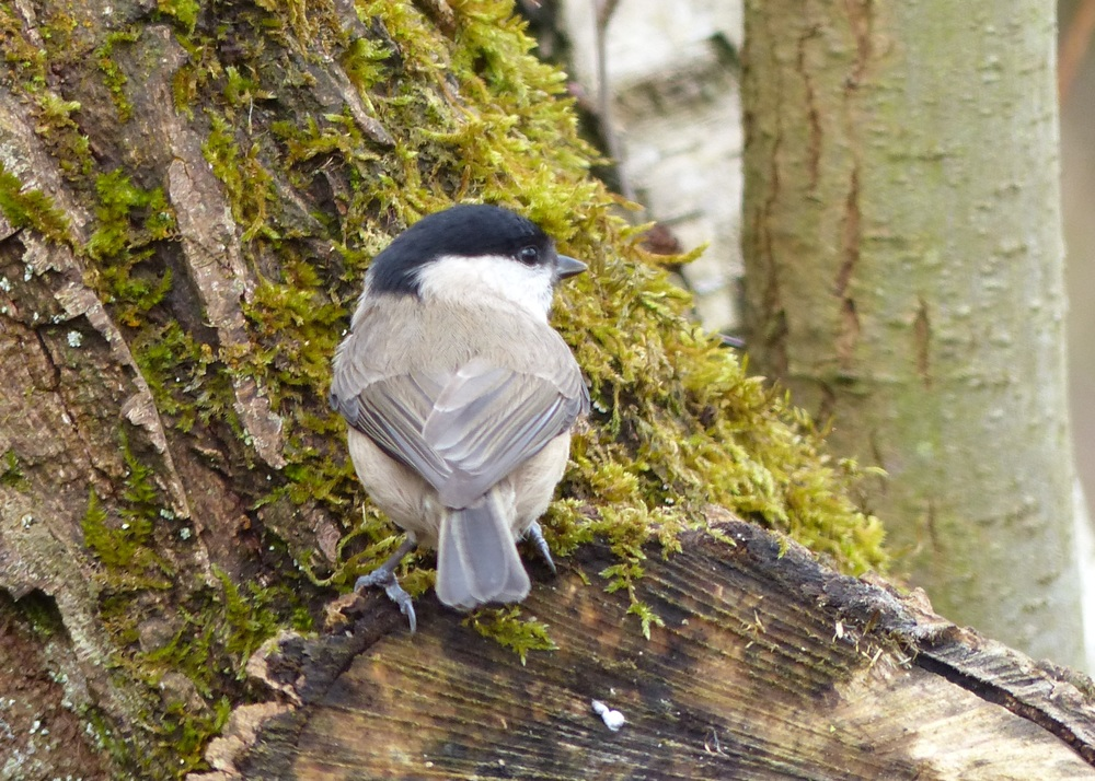 Marsh tit at Leighton Moss