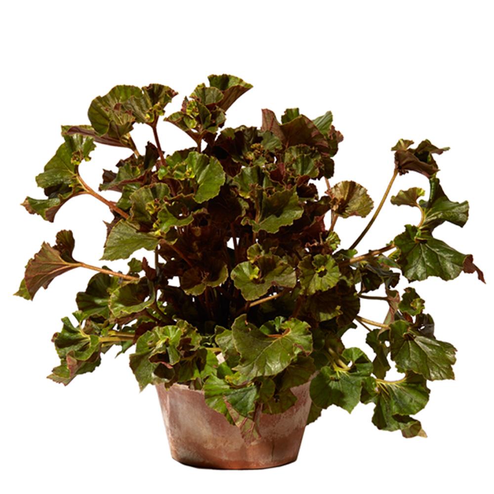 Begonia hybrid