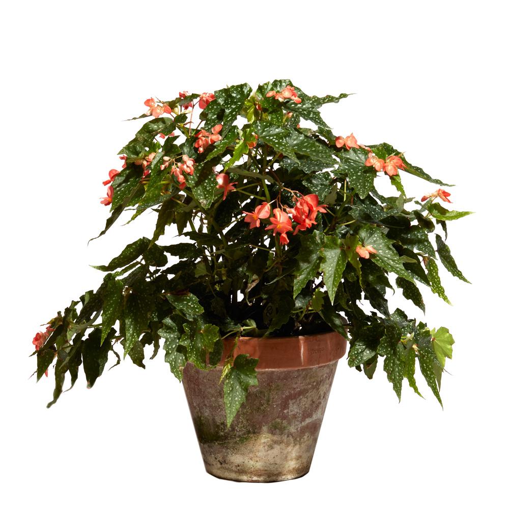 Begonia 'Confederate Pride'
