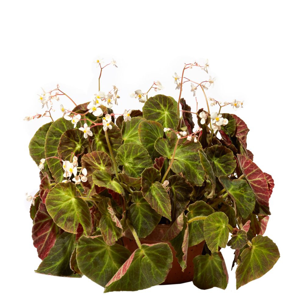 Begonia 'Caravan'
