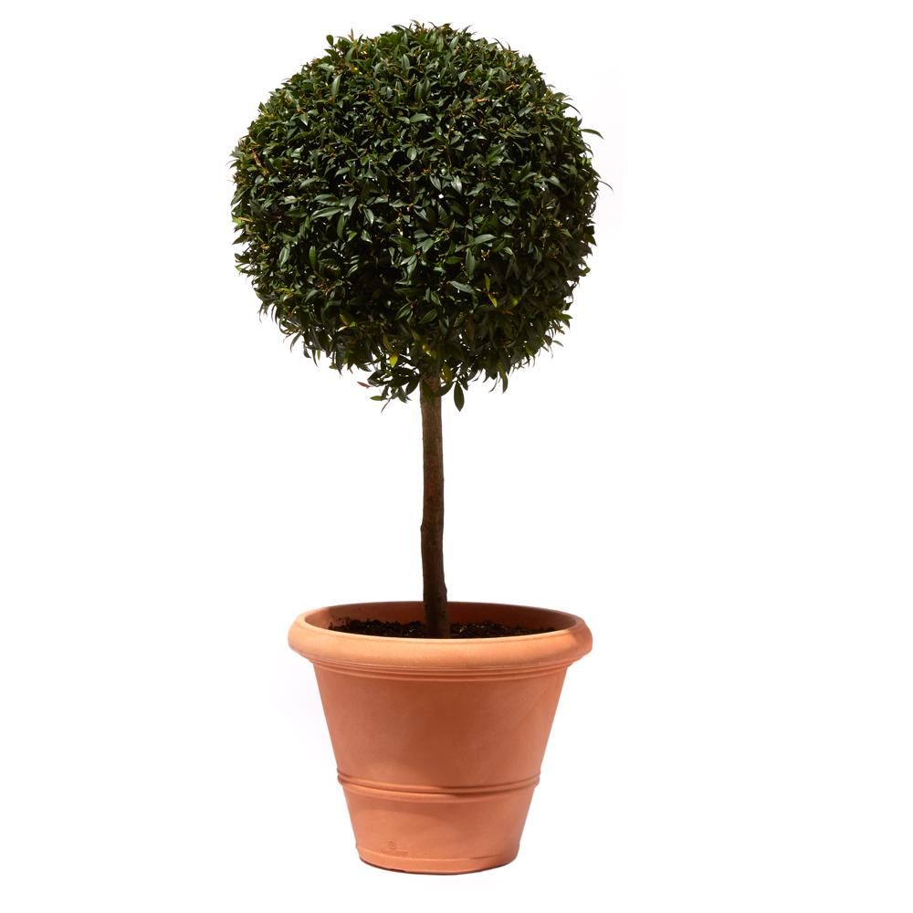 Eugenia myrtifolia (Syzgium)