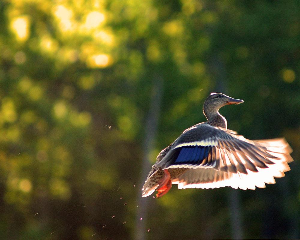 Mallard in flight website.jpg
